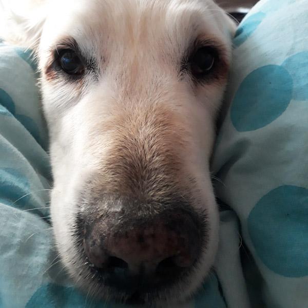 L'odorat : le sens le plus développé du chien