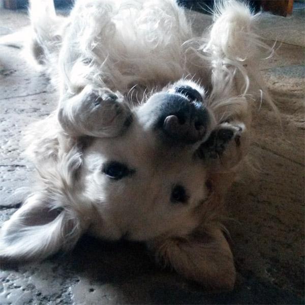 L'ouïe : le sens le plus précis du chien